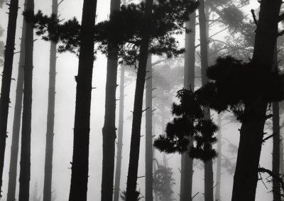 Pines In Fog, 1962