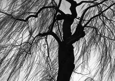 Weeping Willow, Eugene, 1975