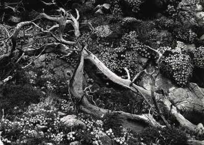Tree Roots With Succulents, 1953
