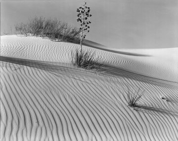 Dune with Yucca, 1946