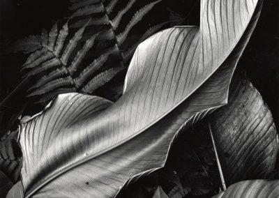 Leaf And Ferns, 1979