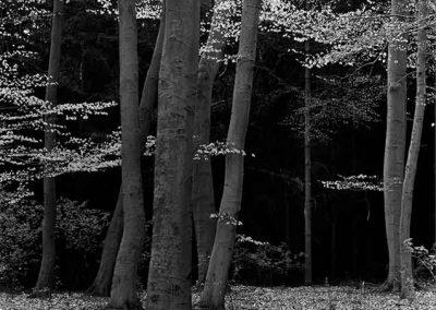 Elm Forest, Holland, 1971