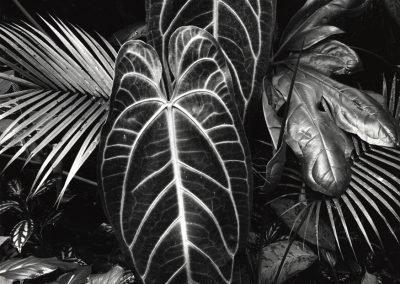 Leaf Cluster, 1978