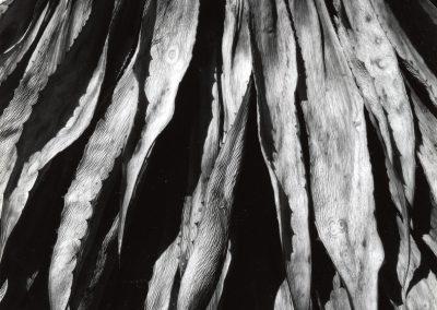Dead Century Plant, 1964